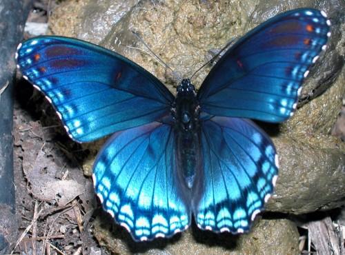 vlinder-blauw